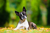 Boston terrier dog on a green lawn in autumn scenery among colorful leaves