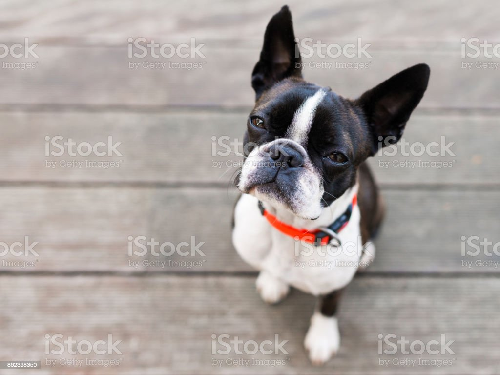 Boston terrier dog on brown terrace looking at camera stock photo