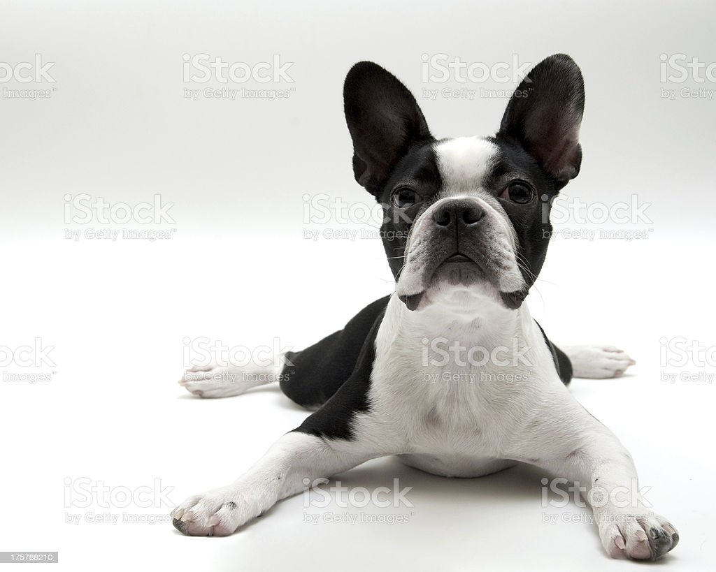 Boston Terrier perro sobre fondo blanco - foto de stock