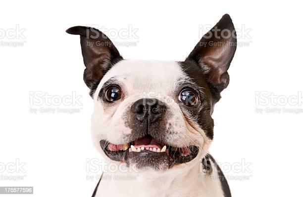 Boston terrier dog on white background with underbite picture id175577596?b=1&k=6&m=175577596&s=612x612&h=rpfuum6ta695papxokatbtw3k28ilp adbbmymob1es=