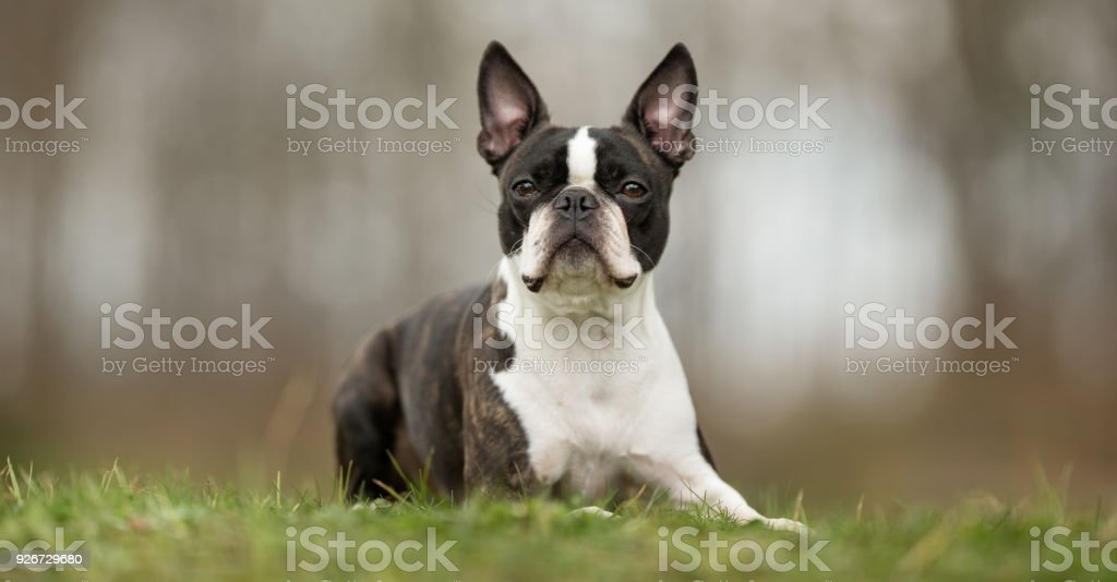 Perro terrier de Boston - foto de stock