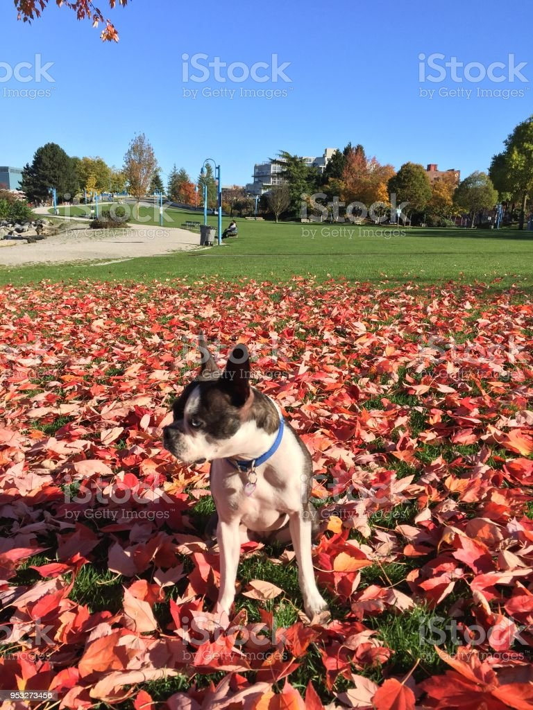 Boston Terrier Dog Sits on Fall Red Maple Leaves in Green Park stock photo