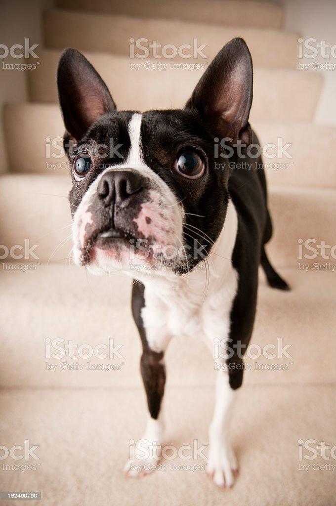Boston Terrier perro pequeño en pasos foto de stock libre de derechos