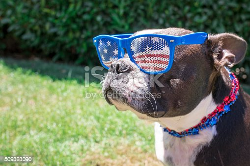 509363072 istock photo Boston Terrier Dog Wearing Fourth of July Sunglasses and Necklace 509363090