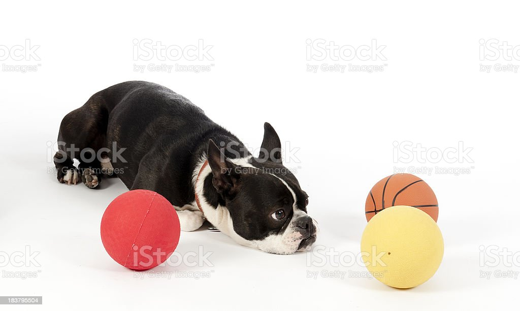 Boston terrier dog, with ball inactive stock photo