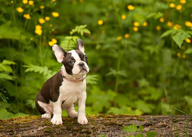 Boston terrier french bulldog puppy picture id495475411?b=1&k=6&m=495475411&s=612x612&w=0&h=s4zo xokhpdexzqgmwtscr 3ceep87vcz o50geeaps=