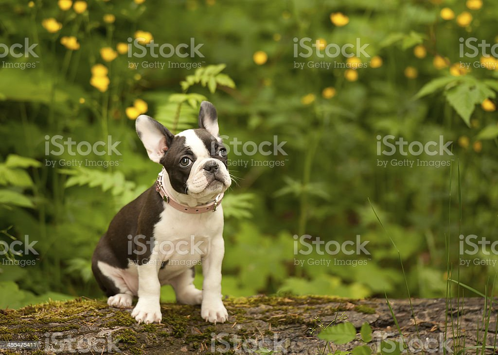 Terrier de Boston Bulldog francés cachorro - foto de stock