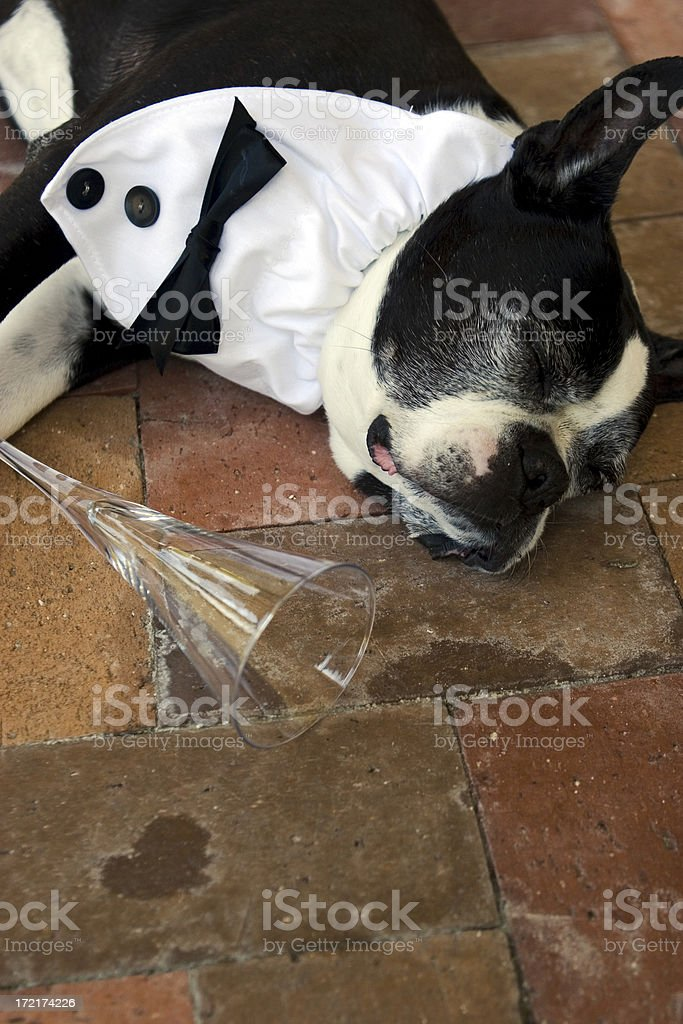 Boston Terrier Hangover stock photo
