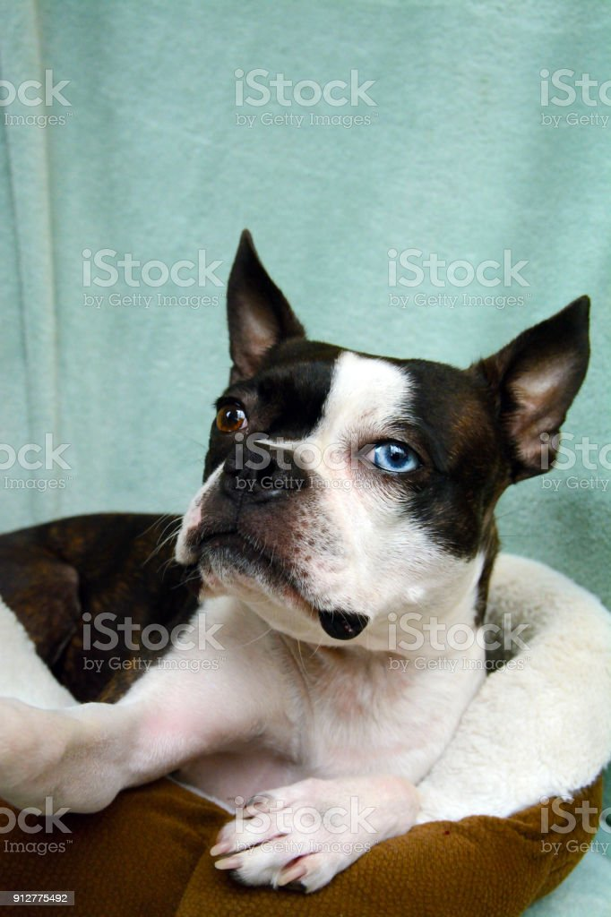 a boston terrier has one blue and one brown eye with a brindle short
