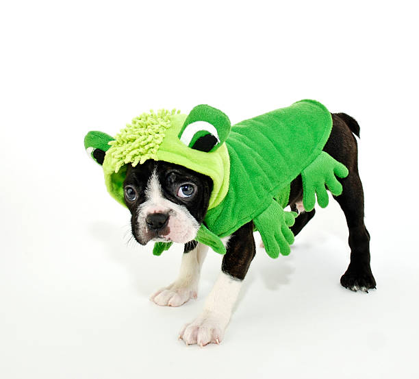 Boston Terrier in a Frog Costume stock photo
