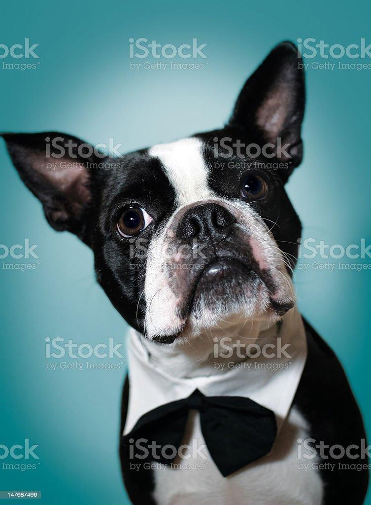Boston Terrier in bowtie stock photo