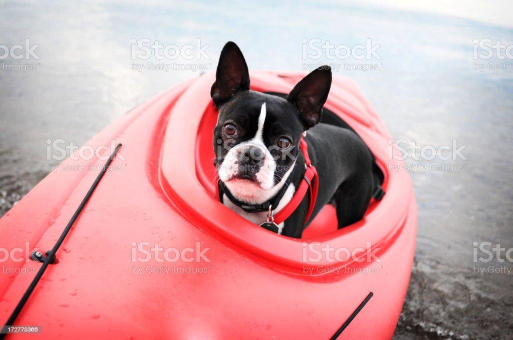 Boston Terrier in Kayak royalty-free stock photo