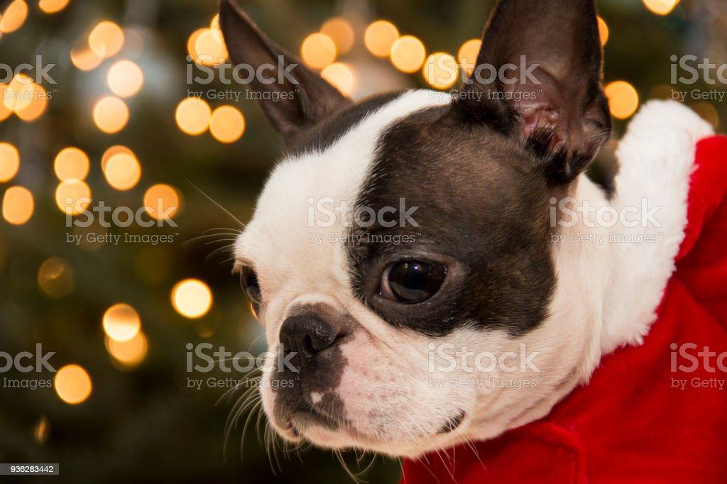 boston terrier looking guilty at christmas time royalty free stock photo