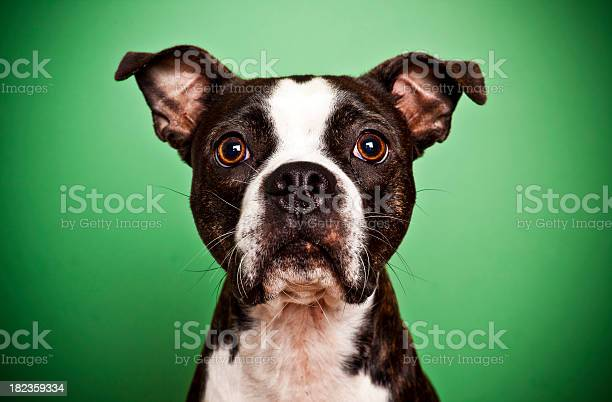 Boston terrier on green picture id182359334?b=1&k=6&m=182359334&s=612x612&h=h3ayfzul3o7s4fgxxfcwgy5vxynm h06amluhyi0gzk=
