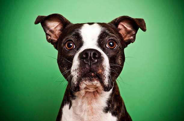 Boston terrier on green picture id182359334?b=1&k=6&m=182359334&s=612x612&w=0&h=zqr7gg1a9vq ygn1q6zzxqbjeldyte3hv9katbjzvuk=