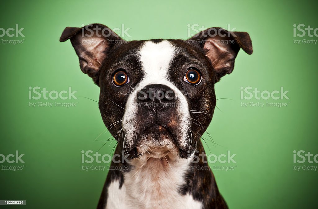 Terrier de Boston en verde - foto de stock
