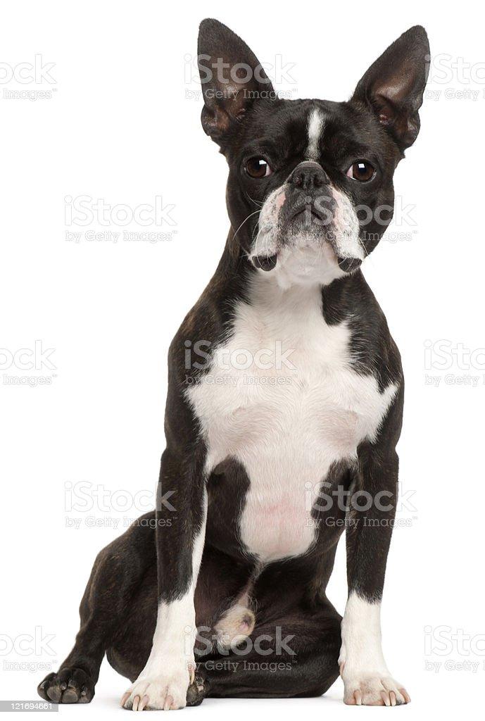 Terrier de Boston, de un año de edad, sentado, fondo blanco. - foto de stock