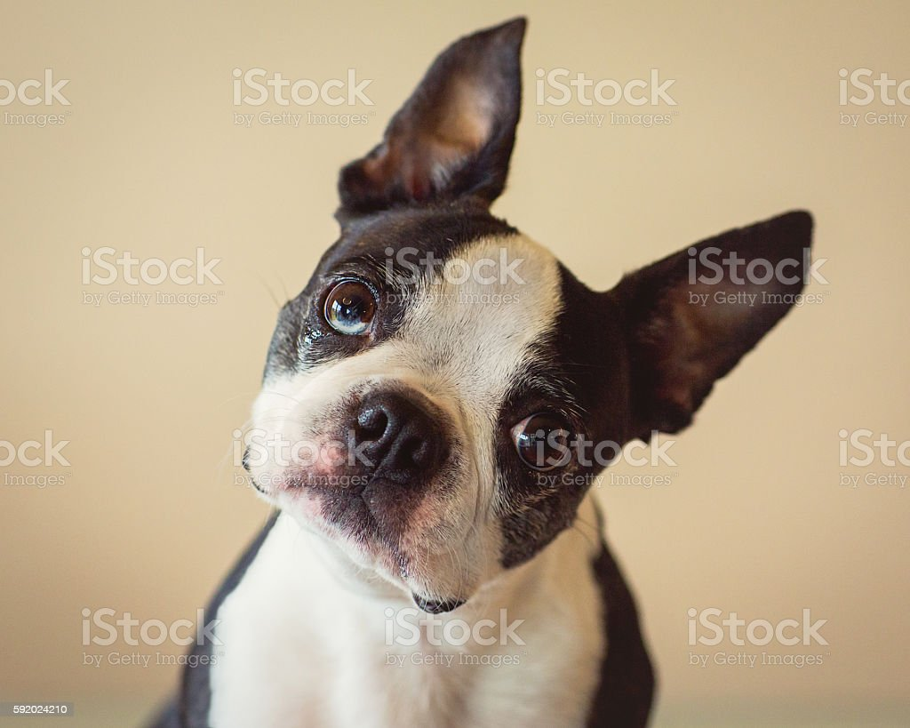Boston Terrier pet dog on tan background with tilted head - foto de stock