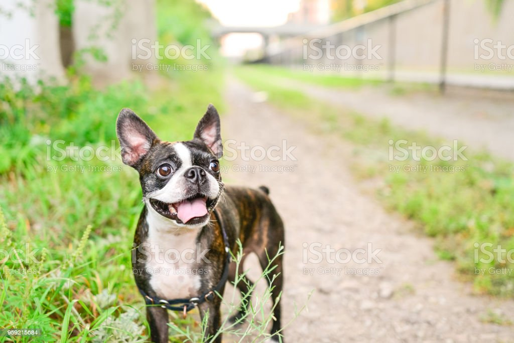 Mascota perro Boston Terrier - foto de stock