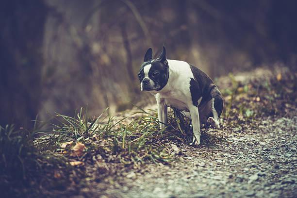 Boston terrier picture id500295098?b=1&k=6&m=500295098&s=612x612&w=0&h=wvsdfpmefauh5l9fmljd pxcg5jd7ywappijmyshldq=