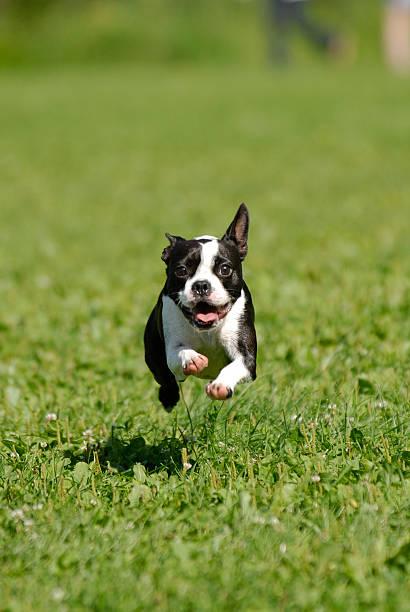 Boston Terrier – Foto