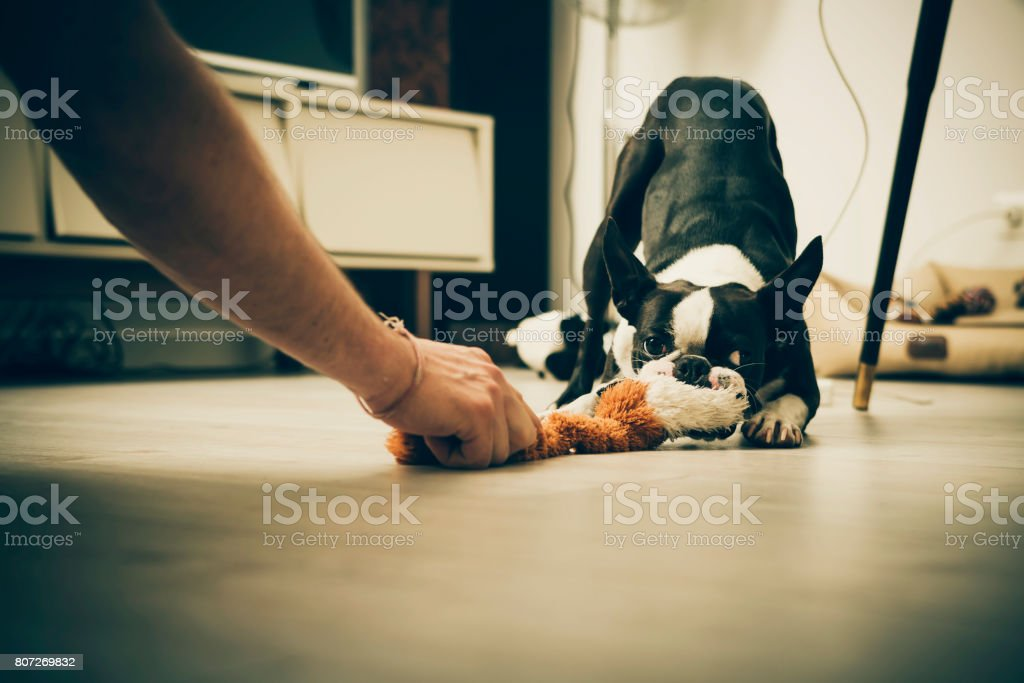 Boston terrier jugando - foto de stock