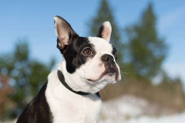 Boston Terrier portrait stock photo