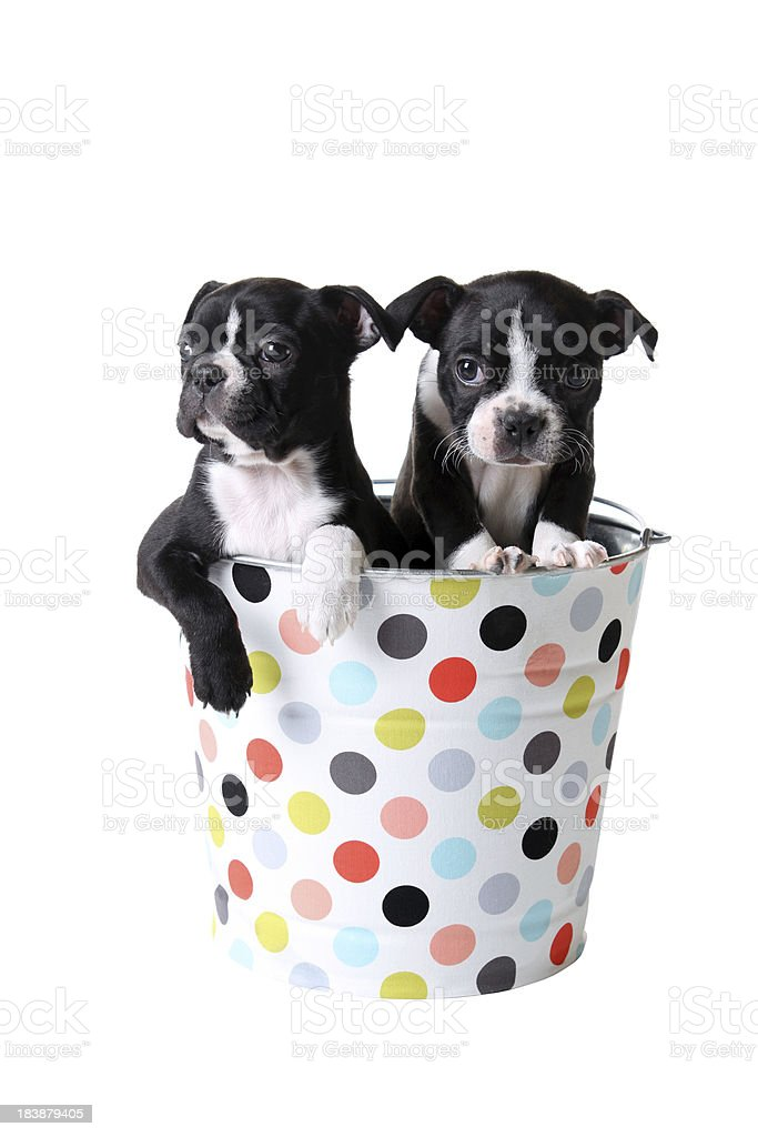 Terrier de Boston lactantes en Polka Dot Pail - foto de stock