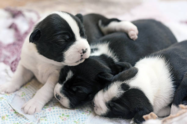 Boston Terrier Puppies Newborn Boston Terrier puppies. newborn animal stock pictures, royalty-free photos & images