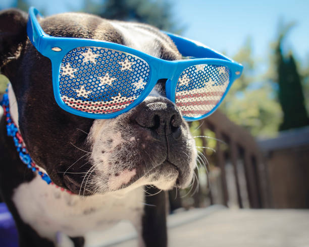 Boston Terrier Puppy Dog Wearing American Flag Glasses stock photo