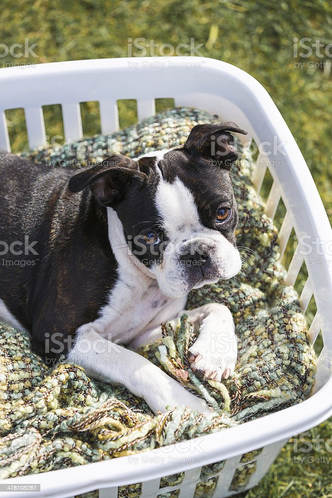 Boston Terrier Puppy in a Laundry Basket royalty-free stock photo
