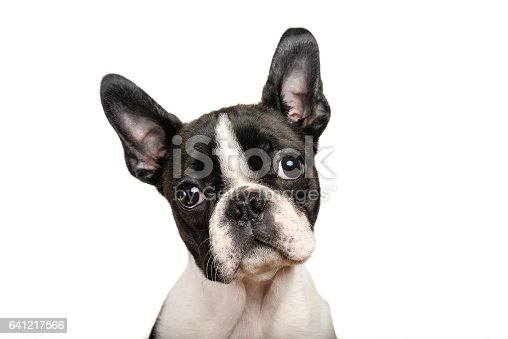 istock Boston terrier puppy isolated on white for copy space use 641217566