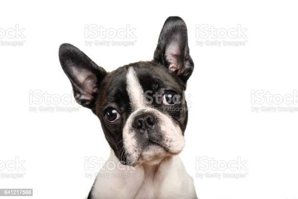 Boston terrier puppy isolated on white for copy space use picture id641217566?b=1&k=6&m=641217566&s=612x612&h=rv9izletvzbsdktrcmvidoyqrwdtac42lv4br7lokay=