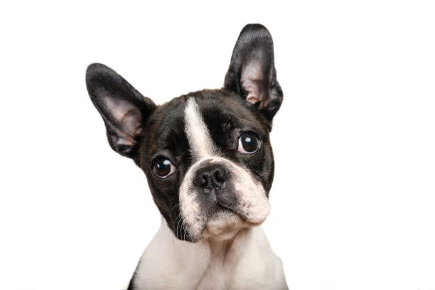 boston terrier puppy isolated on white for copy space use - one animal stock photos and pictures
