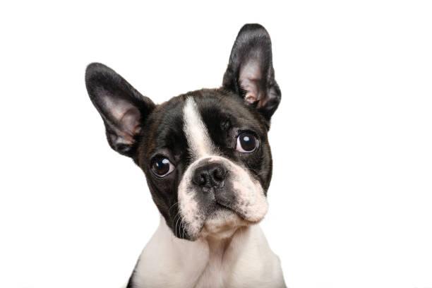 Boston terrier cachorro aislado en blanco para uso de espacio de copia - foto de stock