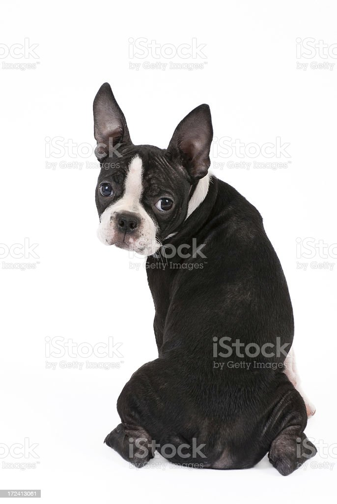 Terrier de Boston cachorro mirando culpable - foto de stock