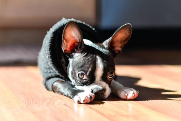 boston terrier welpen - gedehnte ohren stock-fotos und bilder