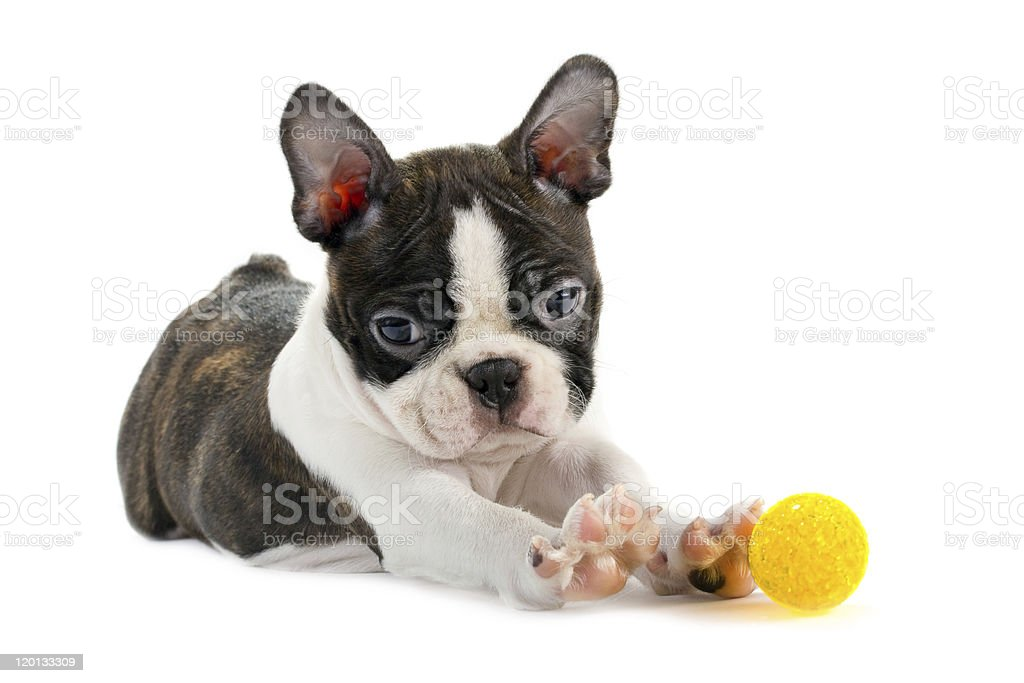 Boston terrier puppy. stock photo