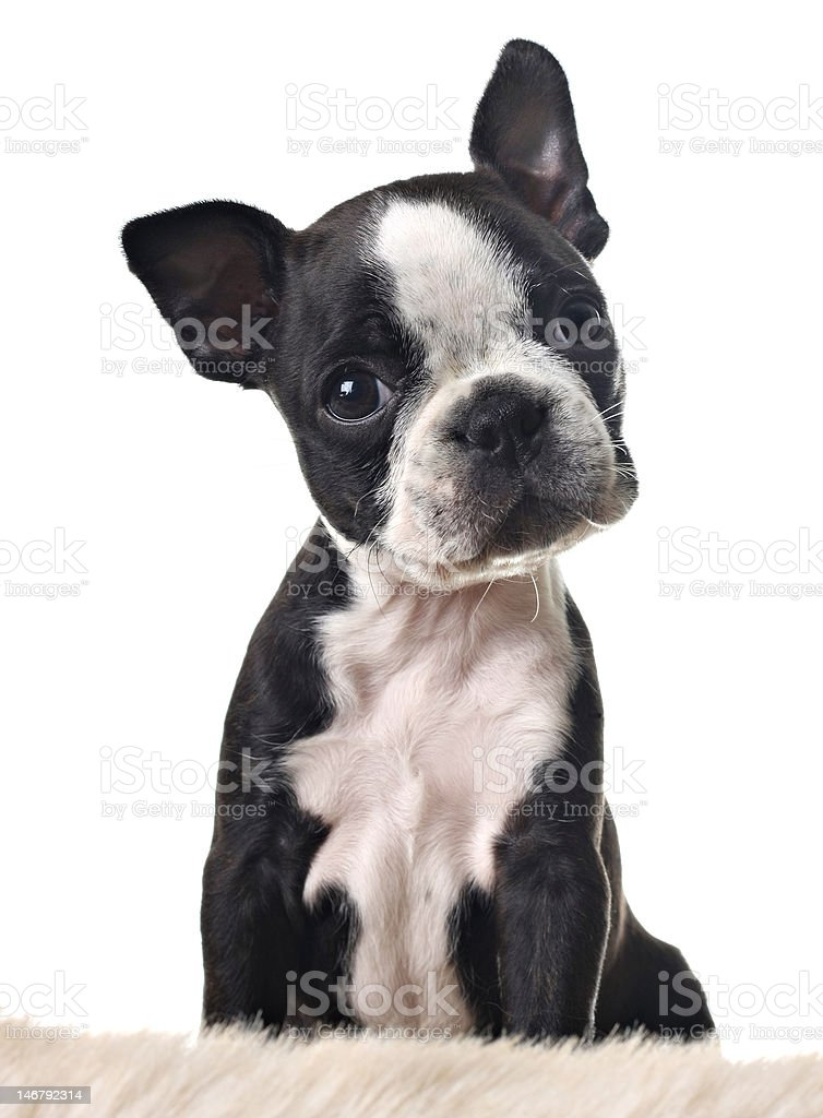 terrier de Boston cachorro - foto de stock