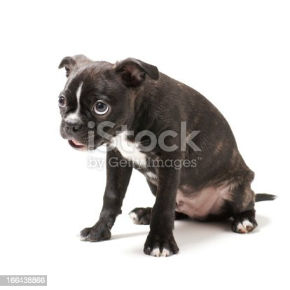 istock Boston Terrier puppy. 166438866
