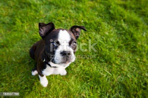 Boston terrier puppy sitting in grass.