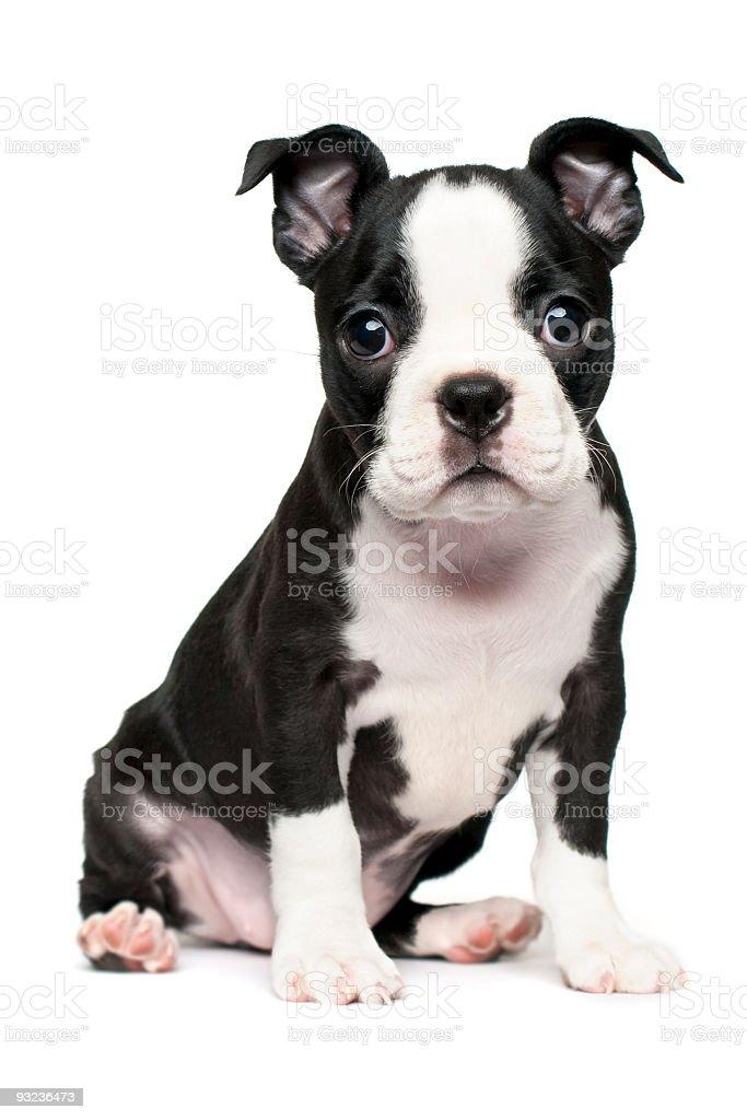 Boston Terrier Puppy royalty-free stock photo