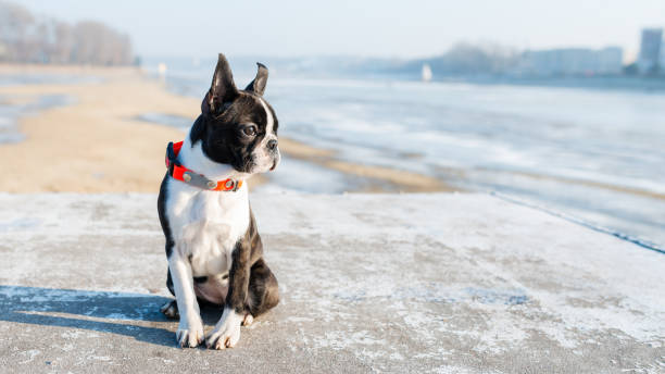 Boston Terrier puppy sitting in the winter scenery stock photo