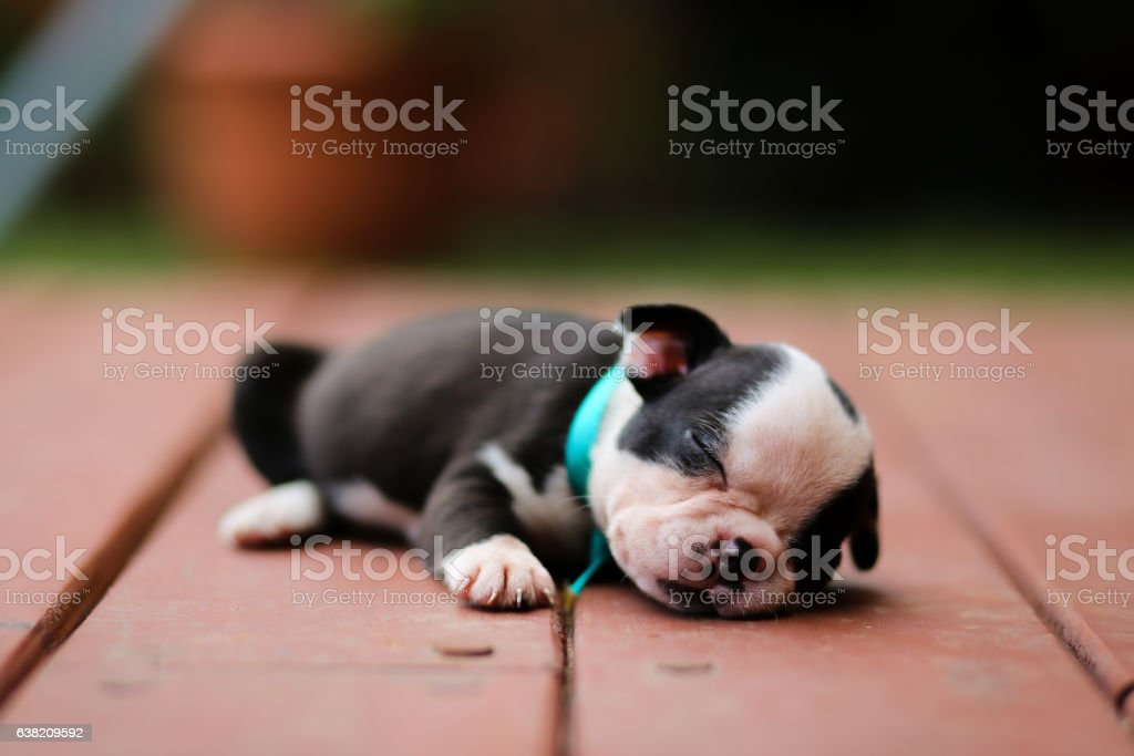 Boston Terrier puppy taking a nap - foto de stock