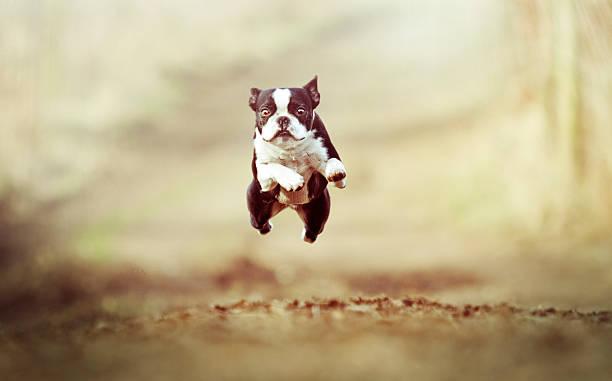 Boston terrier puppy tuning and jumping down a dirt path picture id467019724?b=1&k=6&m=467019724&s=612x612&w=0&h=l wl14nfk5il7tyymyxfc4xclm9de2utpizvotjxrnm=