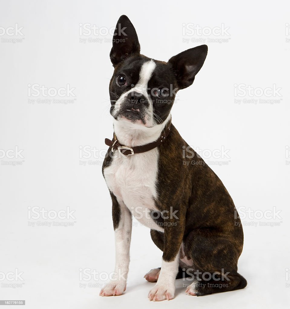 Terrier de Boston - foto de stock