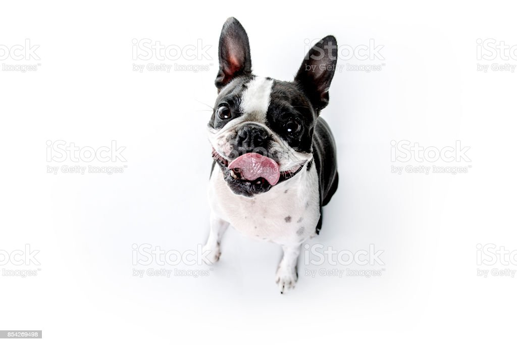 Boston Terrier, de pie delante de fondo blanco - foto de stock