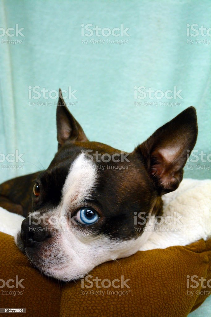 Boston Terrier Toybreed Dog Black And White Puppy Poses For A Family