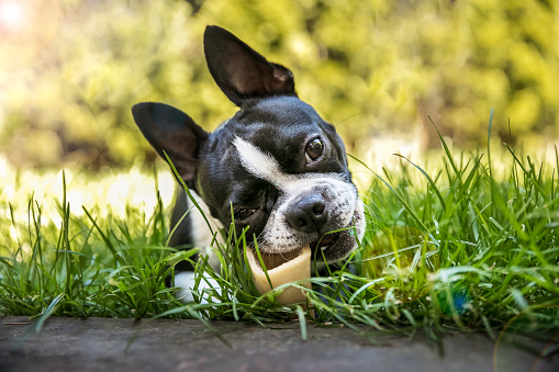 Adorable Boston Terrier dog, chewing on bone in grass