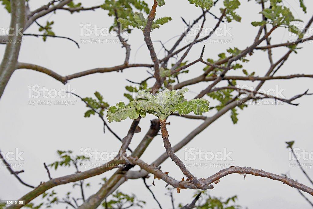 Boswellia Serrata. Family: Burseraceae. A deciduous tree India stock photo